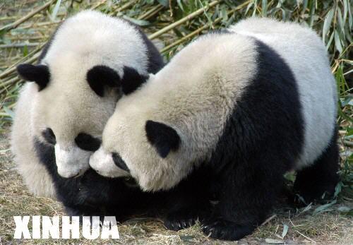 媒体聚焦赠台大熊猫选拔工作(组图)