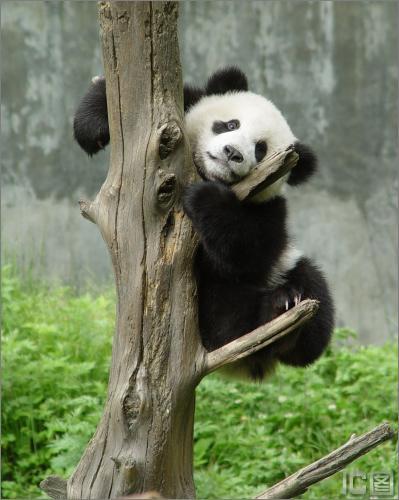 选定的雄性大熊猫19号(图)