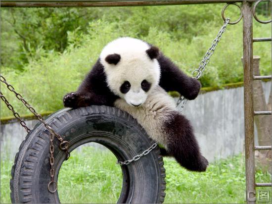 选定的雌性大熊猫16号(图)