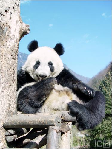 13号现年2岁的雌性熊猫(图)