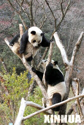 赠台大熊猫6日将亮相