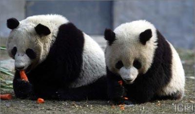 赠台大熊猫公布:16、19号入选(组图)