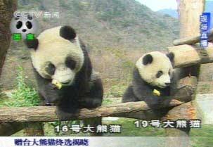 国台办公布赠台湾大熊猫生活录像(组图)