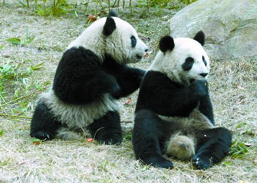 四川卧龙设立石碑介绍赴台熊猫情况