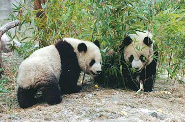 期待赴台三年生下熊猫宝宝