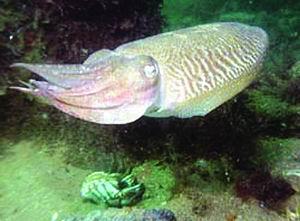 蓝碧海峡:奇异地形珍奇物种豆丁海马螳螂虾(图)