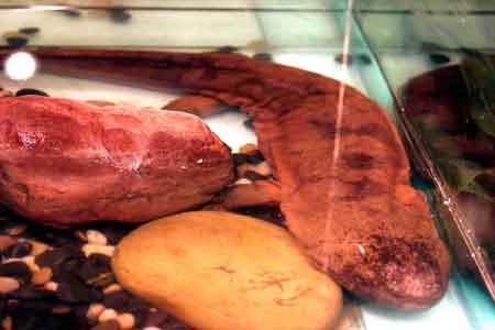 娃娃鱼现身长沙餐桌售价高昂 珍贵源于濒危(图)