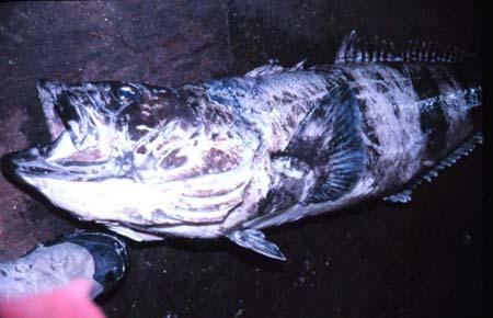 抗冻的南极鳕鱼