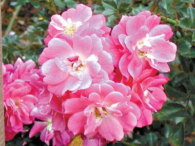 玫瑰难耐南方高温 漂亮花儿其实都是月季(图)