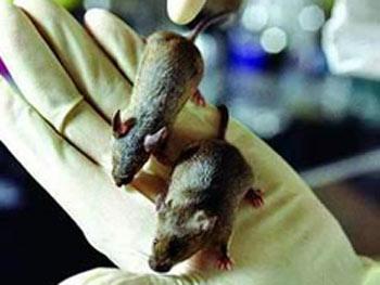 美国批量制造病态老鼠:身价需10万美元