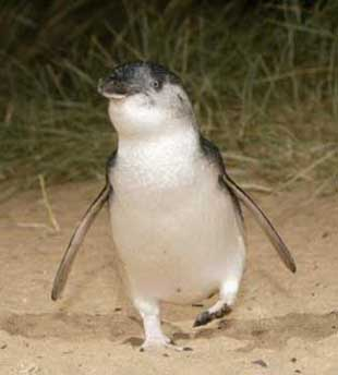 世界最小企鹅的神秘生活[组图]