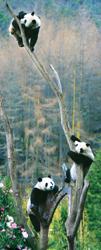 三只大熊猫将落户上海 乔迁前先做麻醉体检(图)