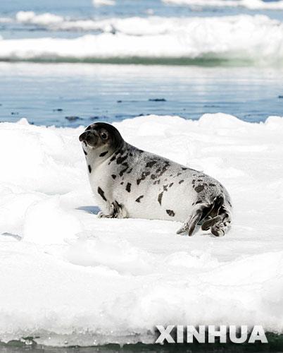 噩梦降临:海豹捕杀季节腥风袭来
