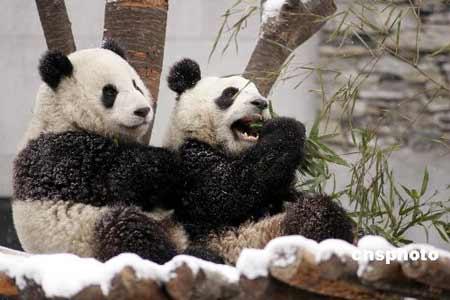 """台湾有关部门宣布拒收熊猫的""""审查共识""""(图)"""