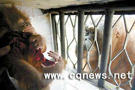 母猩猩无经验弃幼子 三女士捐初乳喂养小猩猩