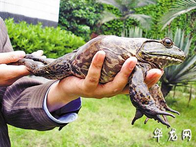 图文罕见巨型青蛙惊现自家池塘-搜狐新闻