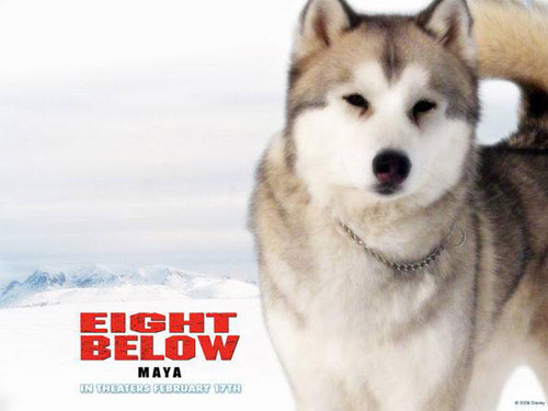《南极大冒险》那八只感动我们的雪橇犬(图)