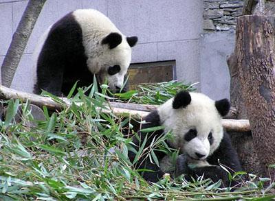 台北市动物园表示 将就大熊猫来台申请复议(图)