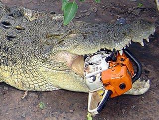 澳大利亚鳄鱼不堪忍受噪声 咬坏电锯牙被割(图)