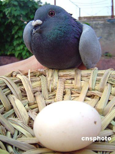 仓鼠鸽大全鸟鸽子375_500竖版竖屏过程宝宝长大动物鸟类图片图片