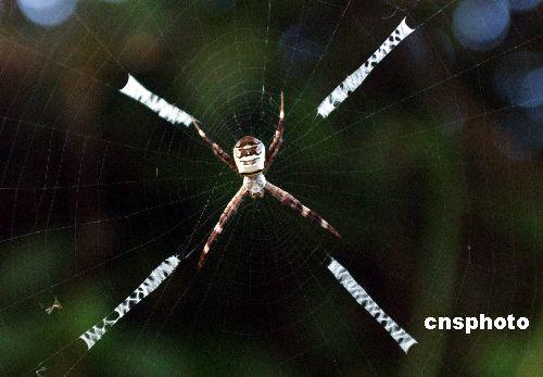 趣图:四川宣汉蜘蛛织英文
