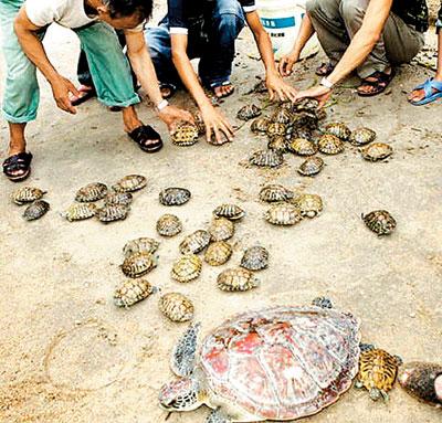 日,妈湾港一带海岸出现了几百只龟,几十年来,这还是深圳海岸线第