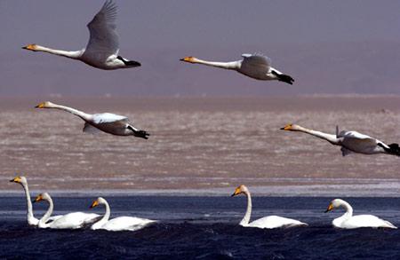 图文:青海湖鸟岛附近的天鹅在湖面上竞游飞翔