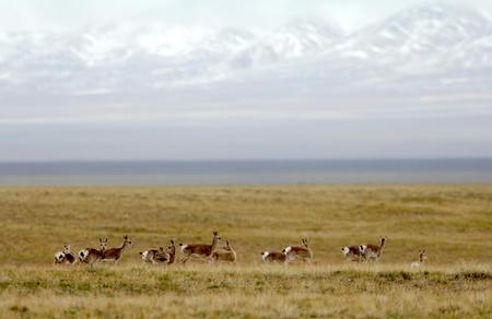 图文:藏原羚在可可西里保护区草场活动