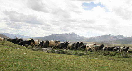 图文:蓝天白云,草原羊群