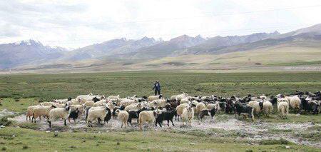 图文:蓝天白云及草原上的羊群