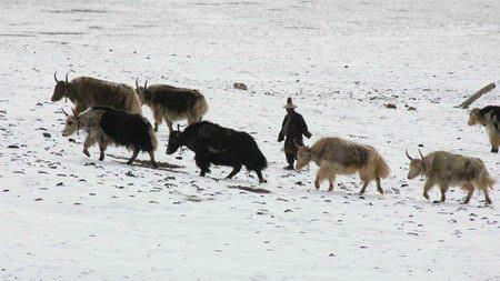 图文:雪地中的牧民与牦牛