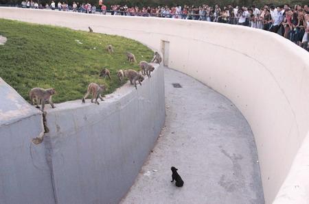 长春公园猴山闯进黑色小狗 顽皮猴子学狗叫(图)