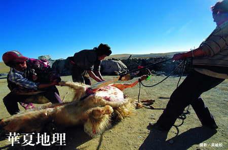 图文:安多强玛镇的牧民正在宰杀病弱的牛羊