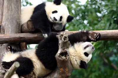 """四川大熊猫栖息地被列入""""世界遗产名录""""(图)"""