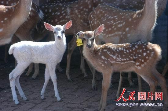 组图:牡丹江一梅花鹿产下一只小白鹿