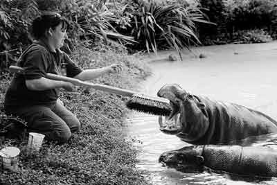 """河马""""享受""""刷牙 动物园为其定制巨型牙刷(图)"""