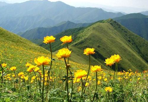 美丽的小五台,美丽的金莲花[组图]