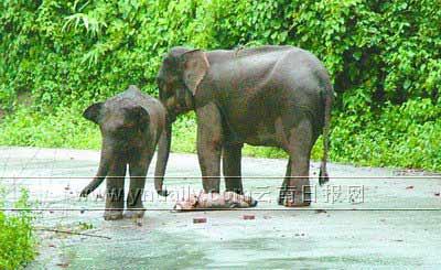 母象路口守候夭折小象 国道被阻断28小时(组图)