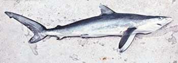 香港泳滩惊现鲨鱼 专家称个头不大个性凶猛(图)