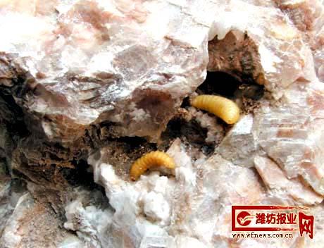 无虫木丰_怪虫生在石腹中 专家认为是罕见的\