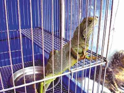深圳流行另类宠物 进口黄金蟒蛇市价4800元(图)