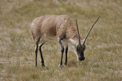 可可西里科考:动物学家详解藏羚羊迁徙之谜