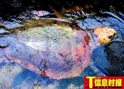 广州游客数千元买百年海龟送附近海域放生(图)