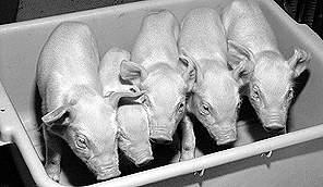 异类器官移植获突破 基因猪能为人提供器官