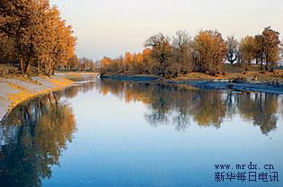 新疆塔里木河下游英苏段河道的胡杨(11月11日摄).经过多年的综