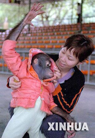 11月28日,广西南宁动物园的工作人员为一只红毛猩猩穿上保温衣.