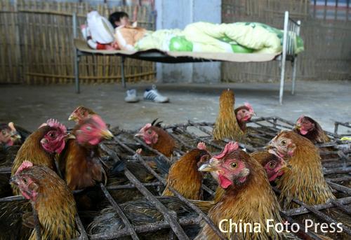 禽流感影响下的上海鸡市(1张)