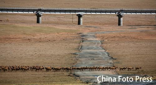 青藏铁路为野生动物开辟生命通道(4张)