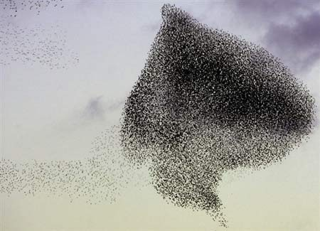 北京 法新社 阿尔及尔/2006年1月15日,一大群八哥鸟飞过阿尔及利亚的傍晚公园。