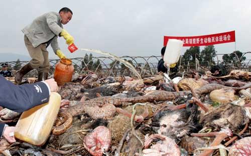 昆明集中销毁一批野生动物死体